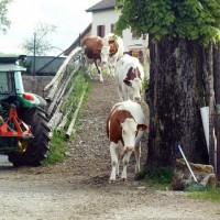 Nos vaches Montbéliardes